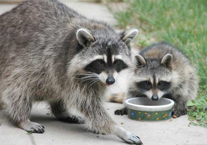 Raccoon Mother and Baby Raccoon